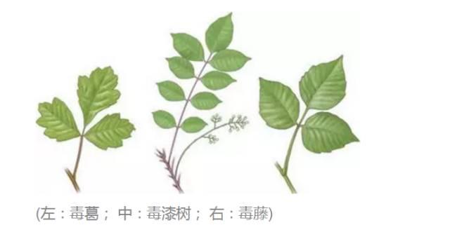 这种植物也是大家要小心的,不注意还真以为它就是普通植物上的叶子.